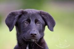 Junger Labrador-Mix